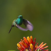 Hummingbird Photos - Little Hedgehopper by Heiko Koehrer-Wagner