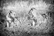 Blackandwhite Photo Metal Prints - Little Lion Cub Brothers Metal Print by Adam Romanowicz