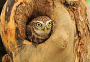 Louise Heusinkveld - Little Owl