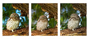 Paul Scoullar - Little Owl Triptych