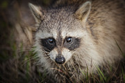Raccoon Photo Posters - Little Raccoon in the Marsh Poster by Bonnie Barry