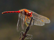 Little Red Dragon 2 Print by Bill Caldwell -        ABeautifulSky Photography