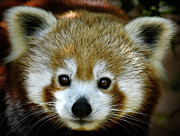 Panda Bears Photos - Little Red Panda by Lana Trussell