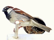 Little Sparrow Print by Karen Wiles
