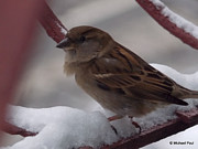 After Snowstorm Prints - Little Sparrow Print by Michael Paul