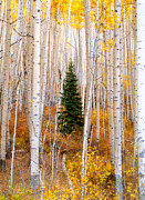 Aspens Posters - Little Tree Poster by Tim Reaves
