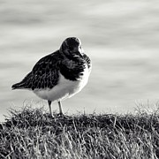 Habitats Posters - Little Turnstone BW Poster by Sharon Lisa Clarke