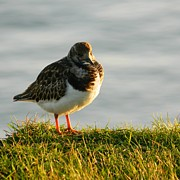 Sea Birds Posters - Little Turnstone Poster by Sharon Lisa Clarke