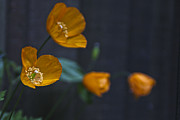 Greens Framed Prints Art - Little Welsh Poppies by Michelle Orai