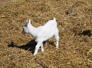 Carolyn Ricks - Little White Goat