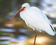 Bill Tiepelman - Little White Ibis