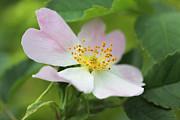 Little Wild Pink Rose Flower Print by Jennie Marie Schell