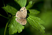Satyr Prints - Little Wood Satyr Butterfly Resting On Green Leaf Print by Christina Rollo