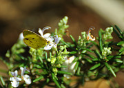 Lepidopterist Posters - Little Yellow Butterfly on Rosemary Poster by Rebecca Sherman