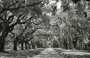 Black And White Landscape Photograph Posters - Live Oak Avenue Poster by Steven Ainsworth