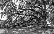 Evergreen Plantation Prints - Live Oak monochrome Print by Steve Harrington