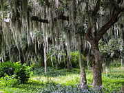 Palmetto Plants Photos - Live oak tree II by Zulfiya Stromberg
