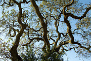 Charmian Vistaunet - Live Oak Tree Patterns