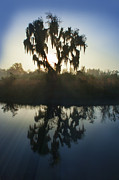 Dan Friend - Live oak with Spanish Moss in morning