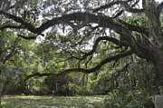 Live Oaks Originals - Live Oaks and Spanish Moss A by Kay Mathews