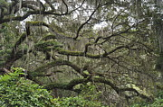 Live Oaks Originals - Live Oaks and Spanish Moss B by Kay Mathews