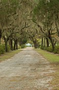 Green Cemetery Road Photos - Live Oaks with Spanish Moss by Patrick Shupert