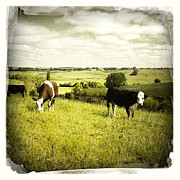 Beef Photo Posters - Livestock  Poster by Les Cunliffe