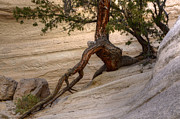 Tree Roots Photo Metal Prints - Living Gracefully Metal Print by Bob Christopher