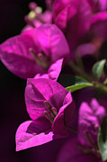 Living With Joy Metal Prints - Living With Bougainvillea Metal Print by Joy Watson