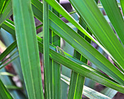 Saw Palmetto Photos - Lizard Lair by Al Powell Photography USA
