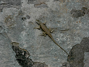 Russell Pedri - Lizard on Rock