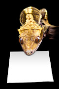 Simon Bratt Photography - Lizard with blank sign