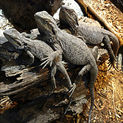 Bonding Metal Prints - Lizards Metal Print by Les Cunliffe