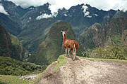 Peruvian Llama Prints - Llama at Historic Lost City of Machu Picchu. Print by Yaromir Mlynski