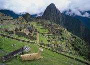 Llama Metal Prints - Llama At Machu Picchus Ancient Ruins Metal Print by Chris Caldicott