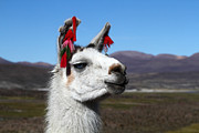 Llama Photos - Llama Earring Fashion by James Brunker