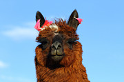 Brown Earrings Prints - Llama portrait Print by James Brunker