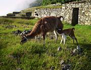 Xueling Zou - Llama Ya Mama