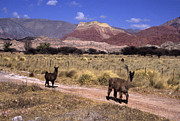 Llama Metal Prints - Llamas and Cerro Yacoraite Metal Print by James Brunker
