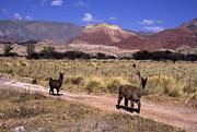James Brunker - Llamas and Cerro Yacoraite