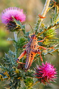 Locust Prints - Locust and Thistle Print by Andrew McInnes