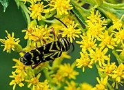 Goldenrod Flowers Prints - Locust Borer Beetle Print by Steve Harrington