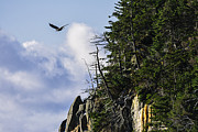 Marty Saccone - Lofty Bald Eagle Surveys...