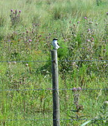 Bull Thistle Posters - Loggerhead Shrike and Thistle Poster by Kay Gilley