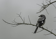 Loggerhead Shrike In Fog Print by Cindy Bryant