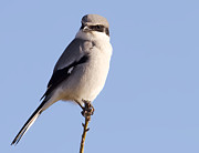 La Porte Framed Prints - Loggerhead Shrike Framed Print by Paul Wolf