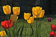 Byron Varvarigos Metal Prints - Lollipop Tulips and Grass and Stone Wall Metal Print by Byron Varvarigos
