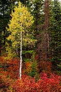 Lone Aspen In Fall Print by Chad Dutson