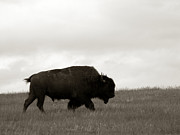 Prairie Photo Framed Prints - Lone Bison Framed Print by Olivier Le Queinec