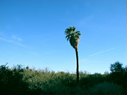 Desert Digital Art Originals - Lone Desert Palm by Amelia Painter